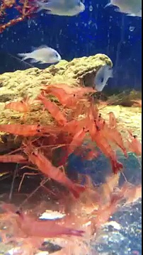 Peppermint shrimp attack!
