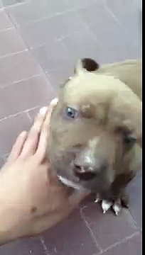 American Staffordshire Terrier !!
