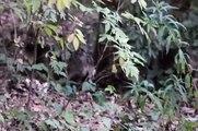 zwei Marderhunde im Wildgehege Hellenthal
