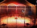 Les fauves du cirque Zavatta : présentation des tigres et lions