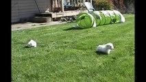 6 Wochen alte Malteser Hundewelpen werden von ihrem Onkel gehegt und gepflegt |Malteser Hundemama #6