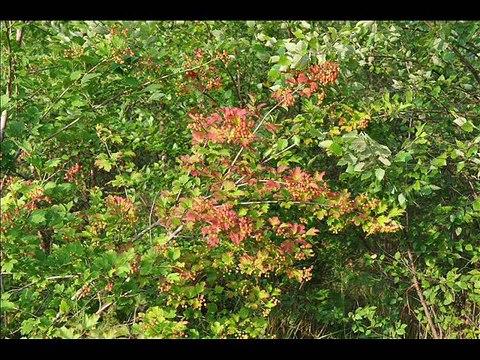Viburnum American Cranberry