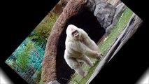 """9. Gorila Blanco """"Copito de Nieve"""" (Extinción: 2003)."""