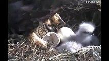 Decorah Eagles Little Face D12's First Feeding  3-28-12 10:42am CDT