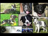 SOS BORDER COLLIE ESPAÑA/ BORDER COLLIE RESCUE SPAIN ( ADOPTADOS)