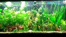 High Tech 55 Gallon Planted Tank Community Fish (Dirted Tank)