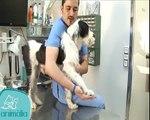 Clínica Veterinaria Animalia   Rehabilitación de mascotas   Flexión y estensión.flv