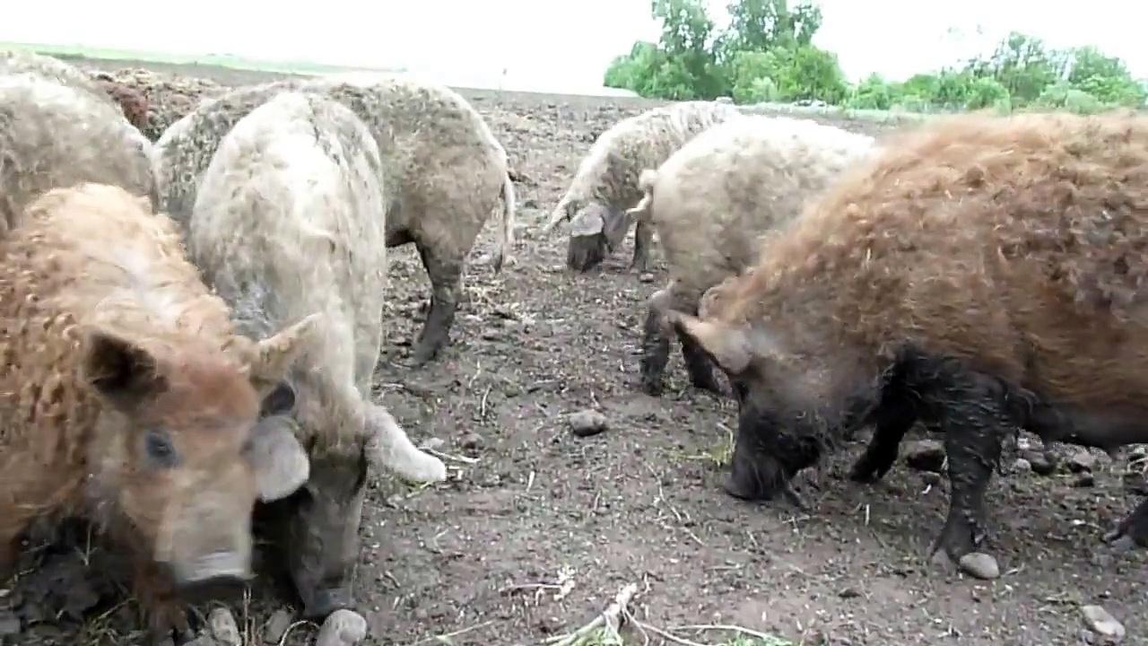 Mangalitsa Pigs – Mangalica Schwein Mangalitza Mangaliza Pigs in Austria, Burgenland