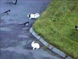 Rabbit chased by birds