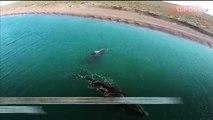Apareamiento de las ballenas francas en la Patagonia Argentina