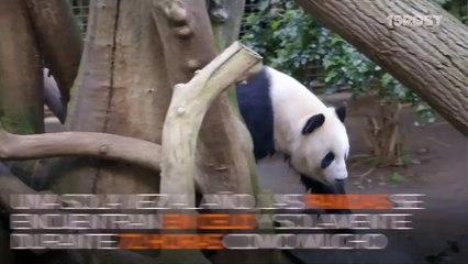 Dos pandas enamorados…muy enamorados