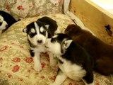 2 Week Old Siberian Husky Puppies Playing
