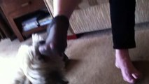 Lhasa apso takes off sock