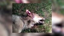 Hautes-Alpes: une louve tuée dans le Dévoluy