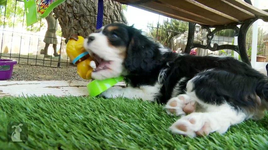 Cavalier Puppies VS. Solar Energy, Who Will Win?
