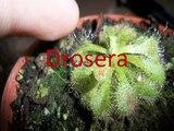 ¿Cómo cuidar una planta carnívora? Drosera | Arthur Plant