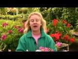 Growing Geraniums : Growing Geraniums Indoors