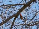 Male Northern Cardinal Singing Birdie Birdie Birdie