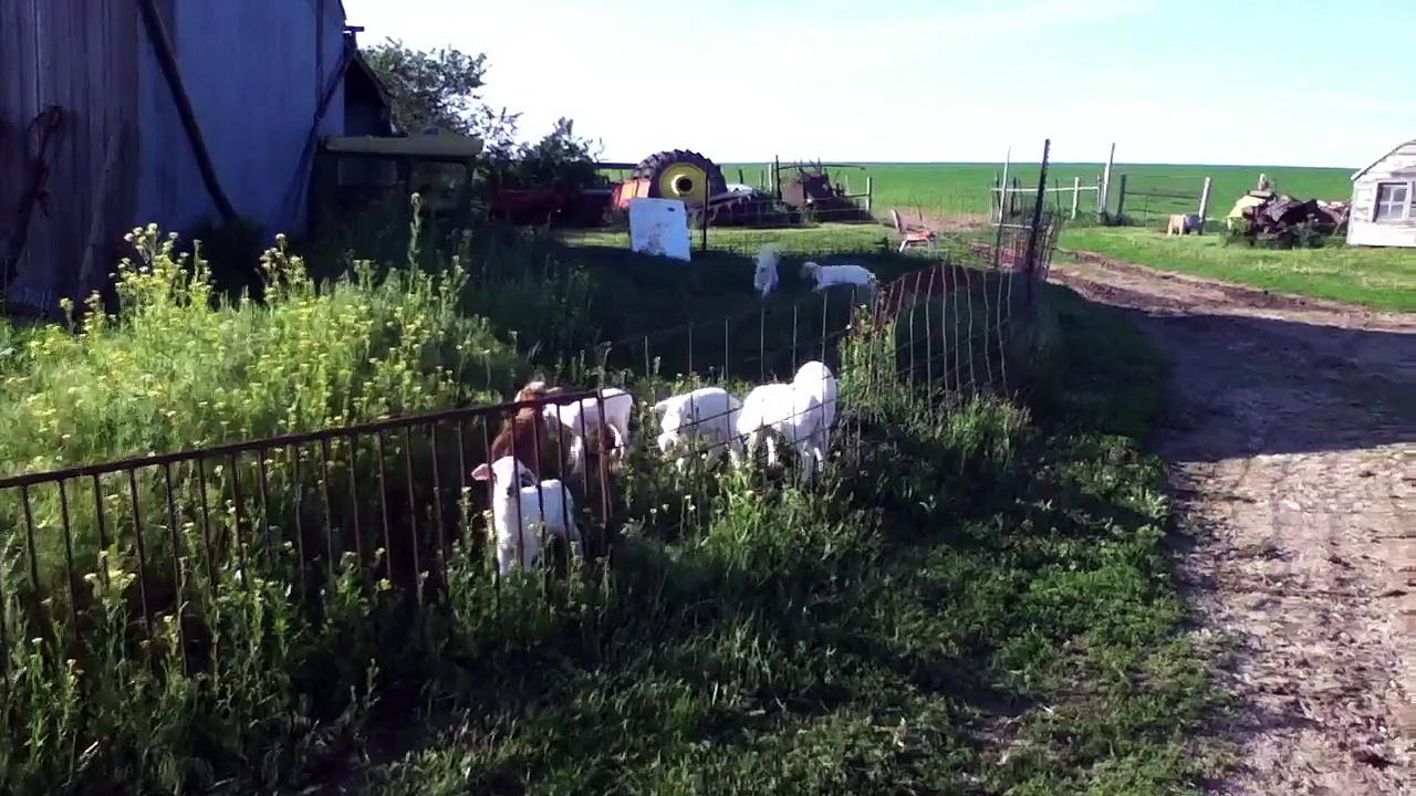 Bouncing baby sheep
