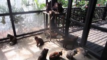 37 BURMESE CATS OF INLE LAKE, BURMA MYANMAR