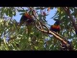 AUSTRALIA's WILD PARROTS & COCKATOOS - PBS SPECIAL - Part 1 of 2