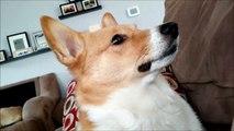 Un chien de garde pas très agressif... Wouffff