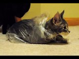 Lucy the playful kitten is obsessed with bags, her brother Shadow is obsessed with her