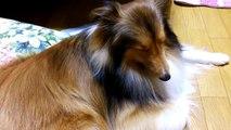 眠い犬・シェルティ(シェットランドシープドッグ)