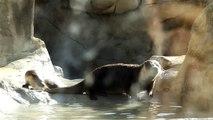 Tres nutrias jugando en el agua a -1 grado ¡que frio!