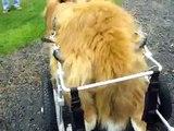 Patrick, paralyzed Pyrenees St. Bernard, in Eddie's Wheels cart!