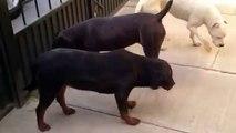 Rottweiler, Cane Corso, Dogo Argentino