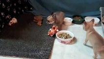 Jones Chihuahuas Canadian Kennel Club Registered Male Chihuahua Pups Santos & Blue January 20, 2014