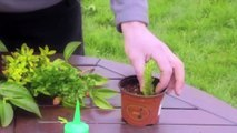 How to make cuttings from plants