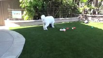 Gorbi our Samoyed Playing on Field Turf