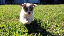 Tiny Malshi Maltese/Shih Tzu pups for sale Florida