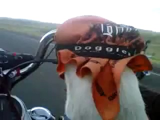 Dog rides Harley Davidson