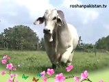 Amazing Big, Beautiful Qurbai Bulls & Cows ,  Yeh Ada Yeh Naaz Yeh Andaz Aa Pukaar
