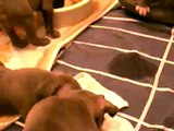 Blue Nose American Staffordshire/Pit Bull Puppies