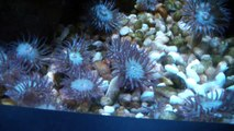 Aggregating Anemone Sea Creature