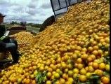How Orange Juice Is Made - benefits of orange juice