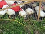 Vitality Pastures -  Pastured Poultry Southern NJ