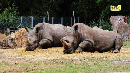 Le Rhinocéros Blanc, un herbivore victime du braconnage