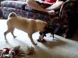 Pug playing with Boston Terrier Puppy - Cute