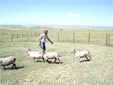 Corgi Herding Sheep, Judge's Comments & Title Results Τσοπανόσκυλο μαζεύει τα πρόβατα