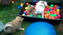 Icelandic Sheepdog Puppies Born to be Wild - Lokasteinn Icelandics