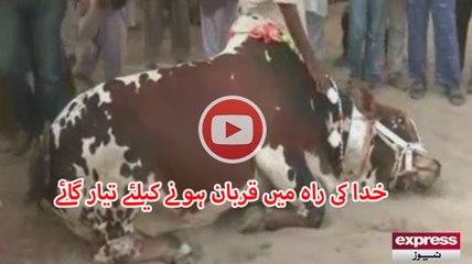 Unique Cow in Sohrab Goth