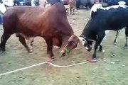 Cow Fighting At Mandi 2015 - Bakra Eid In Karachi
