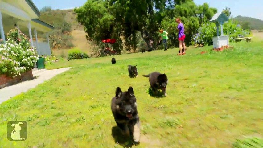 Fluffy German Shepherd Puppies Run Like Heroes