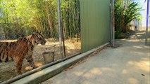 Des bébés tigres et des tigres adultes se rencontrent pour la première fois