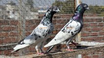 pakistani pigeon kabootar Hassan raza For Rawalpindi 2014